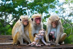 Monkey Family at Sigiriya